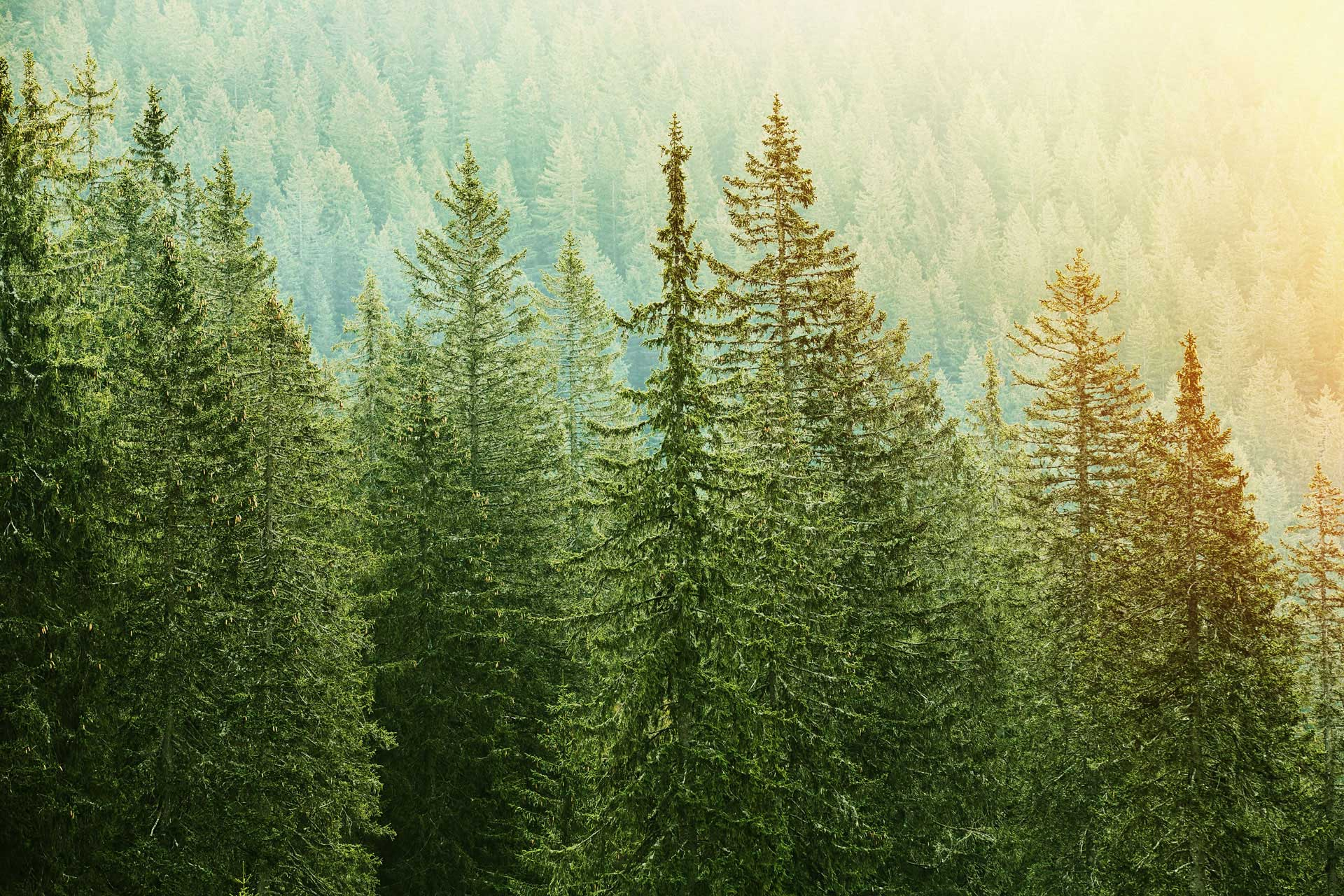 bigstock-Green-Coniferous-Forest-Lit-By-90469688